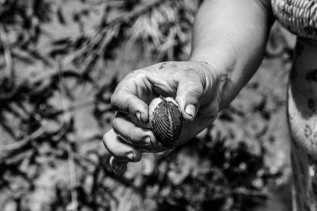 Piangüera de manglar (serie x 3)