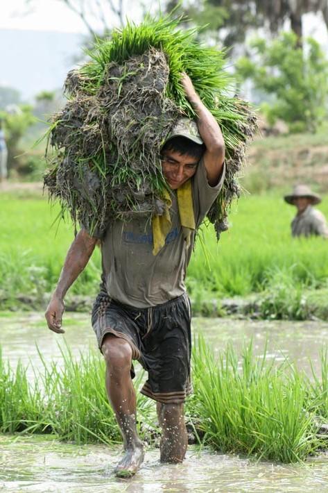 Transplante del arroz